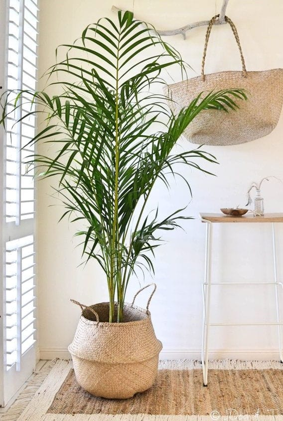 palmier dans un pot en fibres naturelles
